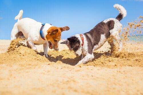Cani scavano una buca