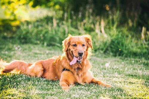 cane seduto sul prato con la lingua fuori