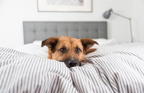 cane tra le lenzuola