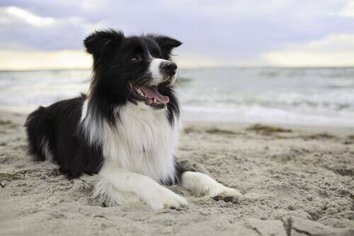 Border Collie seduto in spiaggia