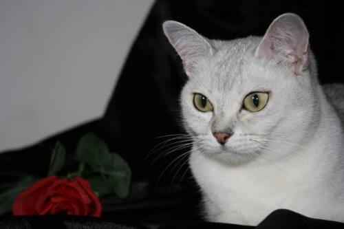 Burmilla, un gatto fedele come un cane