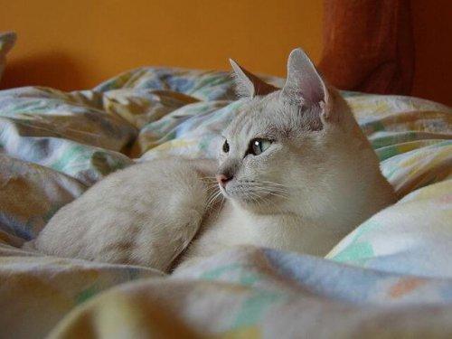gatto Burmilla seduto sul letto