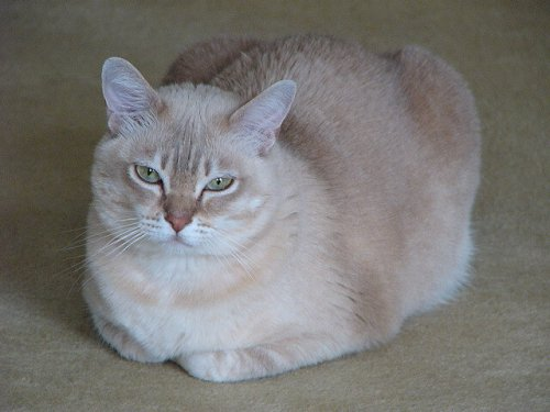 gatto Burmilla seduto