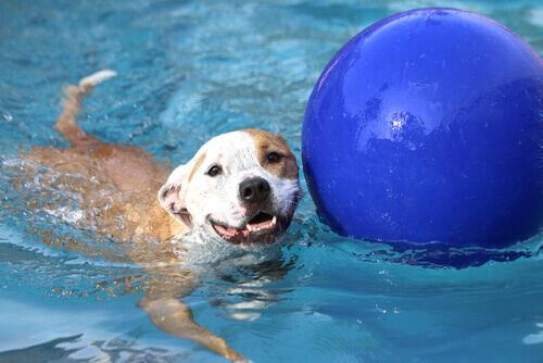 cane che nuota con pallone blu