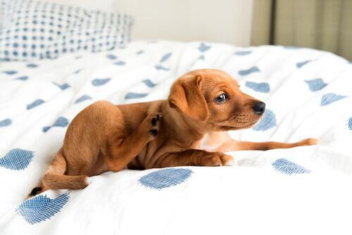 cucciolo seduto sul letto si gratta
