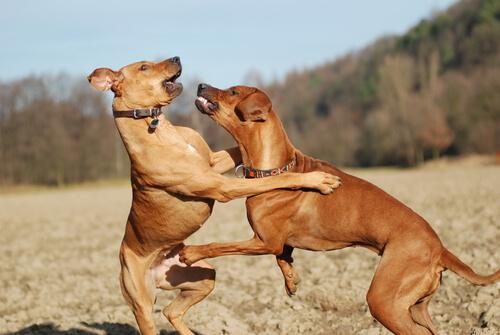Come riconoscere e gestire un cane dominante