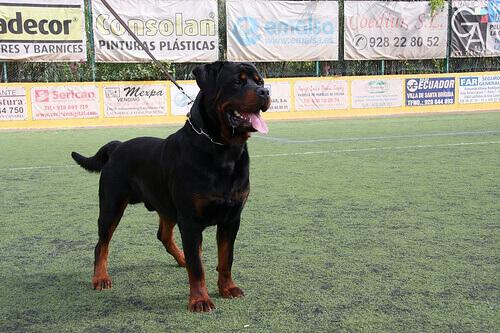 Rottweiler cane dominante
