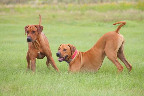 due cani fulvi sul prato
