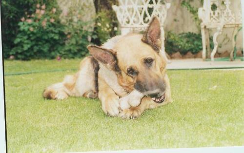 foto di pastore tedesco che mangia osso