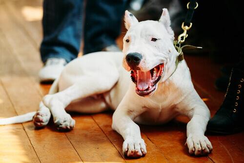 Dogo argentino sdraiato al guinzaglio