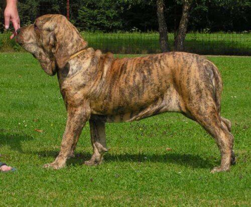 Fila brasileiro, un cane obbediente e coraggioso