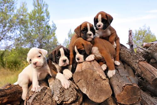 cuccioli di Boxer su tronchi di legna