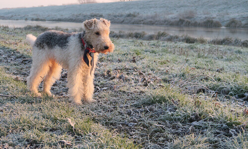 Fox terrier a pelo ruvido in campagna