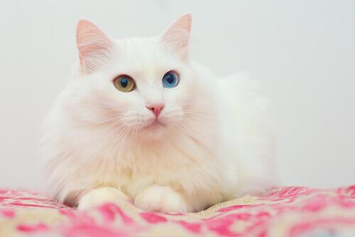 Gatto d'Angora Turco bianco sdraiato