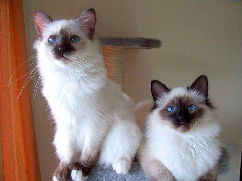 due esemplari di Gatto Sacro di Birmania