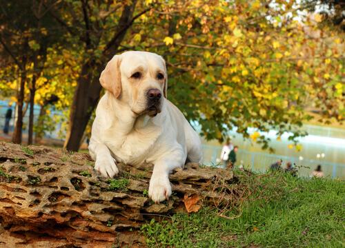 Labrador appoggiato su un tronco al parco