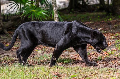 Pantera: caratteristiche, comportamento e habitat