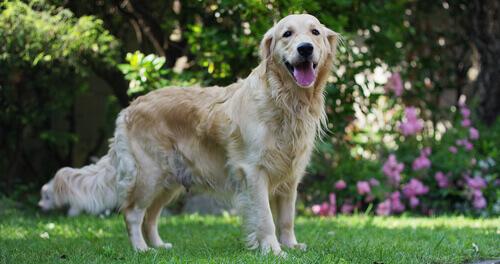 Soffio al cuore nei cani: come prevenirlo e curarlo