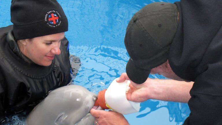 cucciolo di beluga allattato da volontari