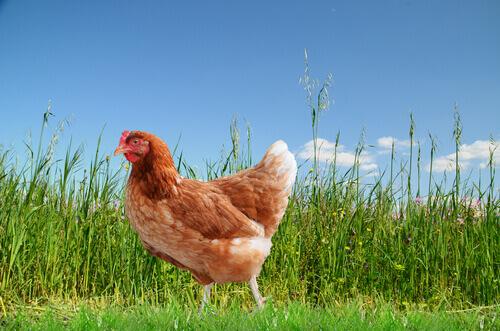 gallina nel prato