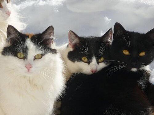 Gatto bobtail giapponese: una fantastica razza