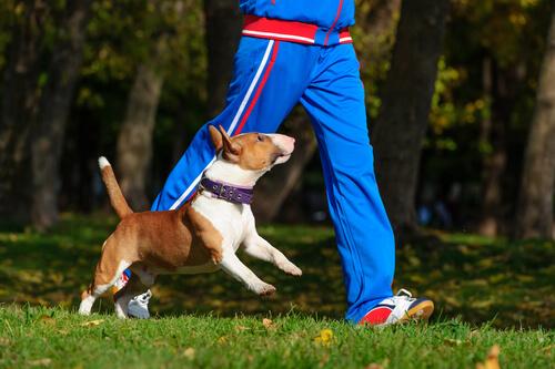 bull terrier che fa footing con il padrone