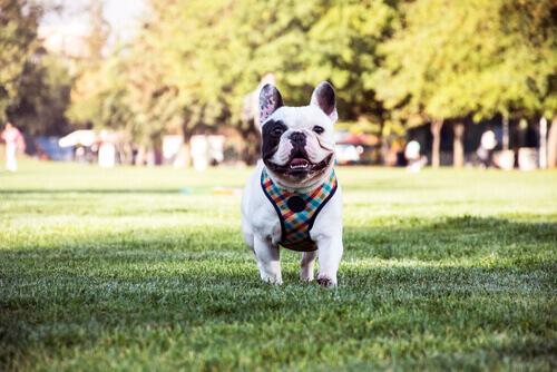 Bulldog francese: un cane affettuoso e intelligente