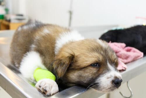 cagnolino malato sul lettino del veterinario