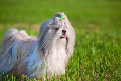 cane Shih Tzu in giardino