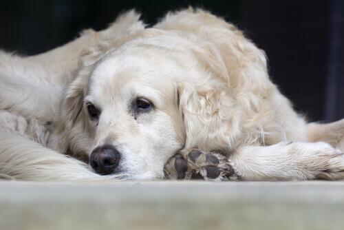 cane bianco malato triste