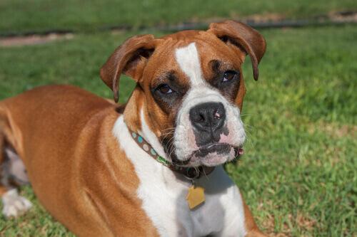 cane boxer sdraiato in un parco