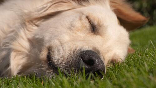 cane che dorme sul prato