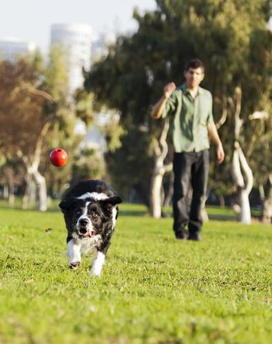 cane che rincorre la pallina lanciata dal padrone