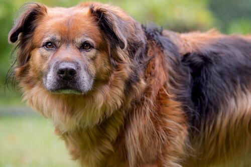 Faccia colpevole del cane: a cosa è dovuta?