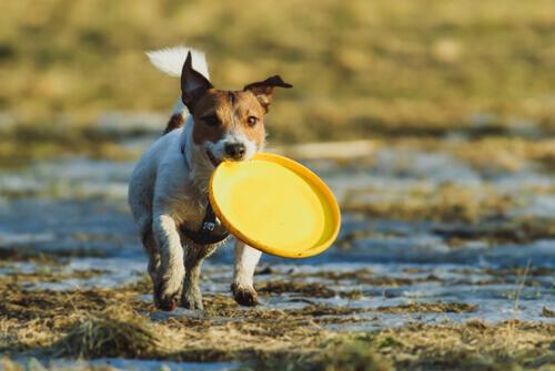 cane con frisbee giallo in bocca