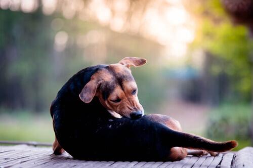 cane con la scabbia si morde