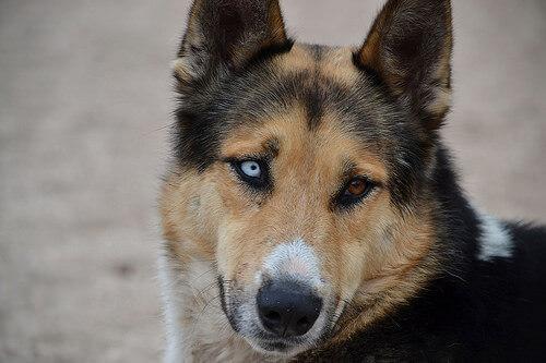 cane con occhi di colore diverso