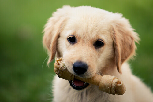 cucciolo con osso in bocca