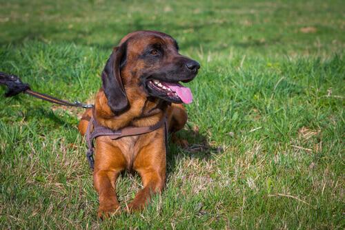 cane con pettorina marrone sdraiato
