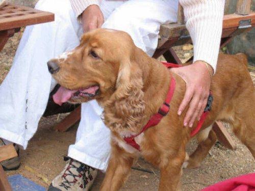 cane con pettorina rossa insieme al padrone