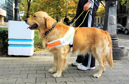 Golden cane guida per strada