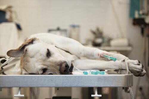 cane con epatite sdraiato dal veterinario