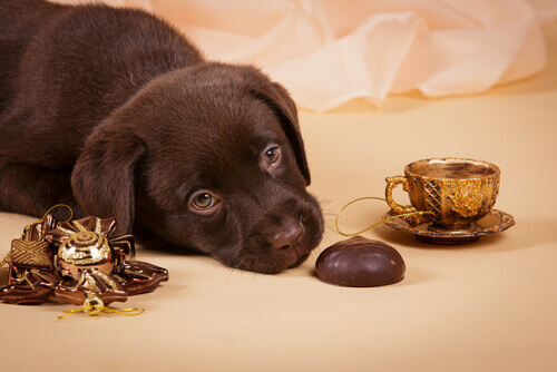 cucciolo marrone per terra con cioccolato