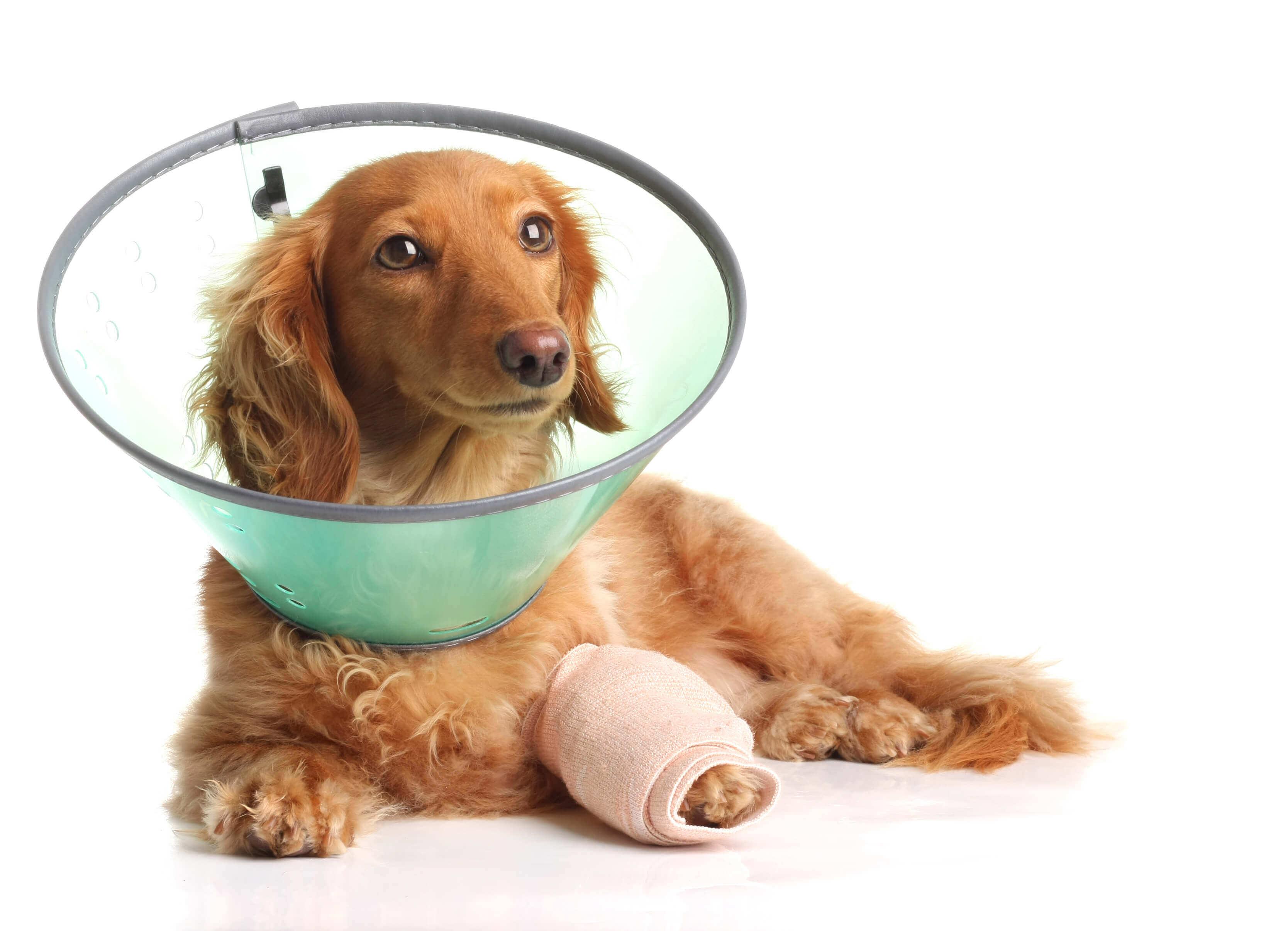 cane sdraiato con collarino