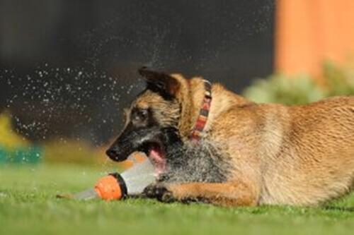 Cani adatti al clima caldo: le migliori razze