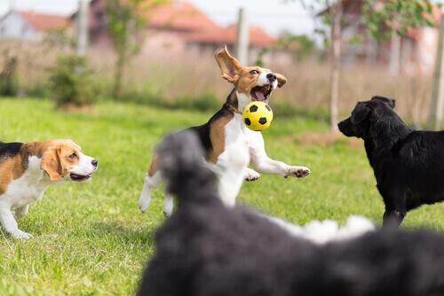 cani che giocano a palla insieme