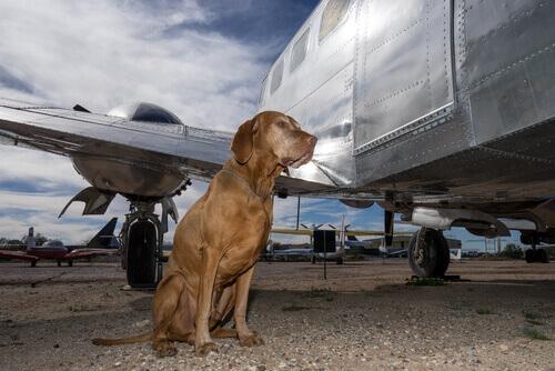 I cani che viaggiano nelle stive degli aerei