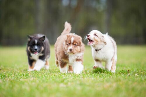 Cani che corrono nel prato