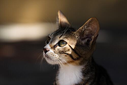 Che tipo di gatto scegliere come animale domestico?