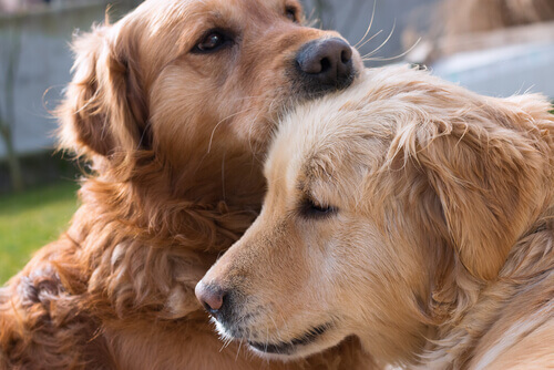 coppia di Golden Retriever che si leccano